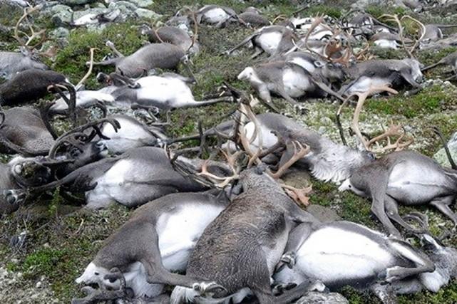 Les images de télévision montraient des corps d'animaux... (Photo Haavard Kjontvedt, Norwegian Enviroment Agency via AFP)