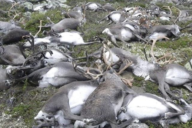 Plus de 300 rennes sauvages sont morts foudroyés... (AFP)