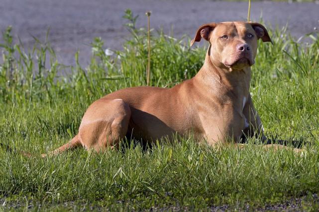 Dans l'épineux débat sur les pitbulls et autres chiens dangereux qui fait rage... (Photothèque Le Soleil, Pascal Ratthé)