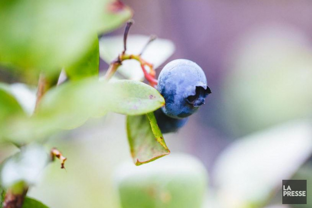 Phytimpact prévoit produire une poudre de bleuet de... (Archives La Presse)