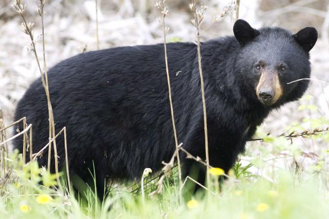 Un Japonais, qui s'était retrouvé nez à nez avec un ours noir d'Asie peu... (Photo Nathan Denette, archives PC)