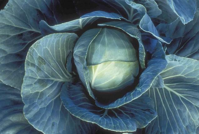 Le chou pommé est le chou classique des... (www.jardinierparesseux.com)
