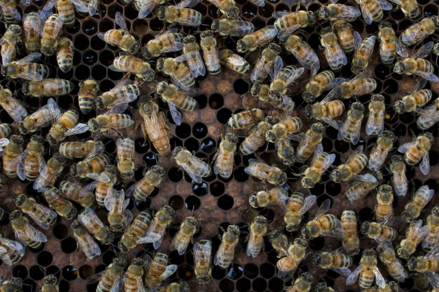 Des apiculteurs de Caroline du Sud, dans le sud-est des États-Unis, ont... (AP)