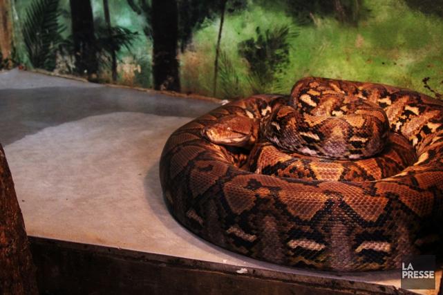 Un python de 4 mè‹tres dans son vivarium.... (Archives La Presse)