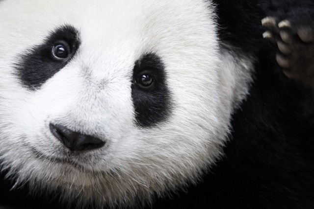 On dénombre aujourd'hui 1864 pandas géants adultes selon... (PHOTO Joshua Paul, archives AP)