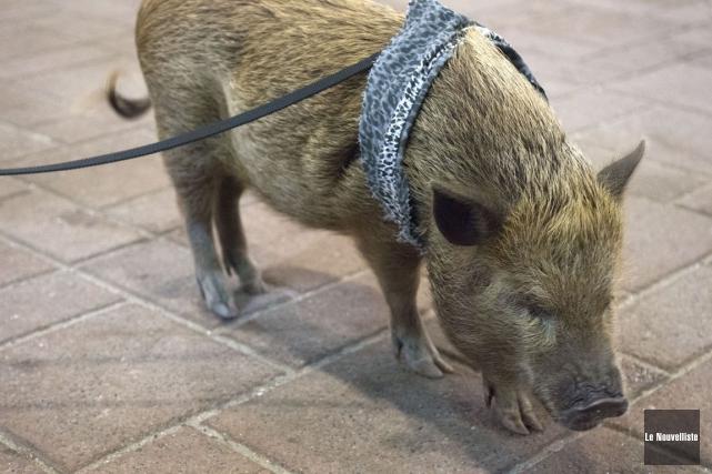 L'histoire de Bacon, ce microcochon devenu célèbre grâce... (Stéphane Lessard, Le Nouvelliste)