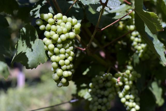Les raisins utilisés pour la fabrication du crémant... (PHOTO AFP)