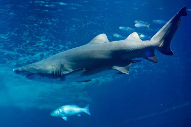 Pendant près de 48 heures, des requins ont... (PHOTO STEFAN SAUER, AFP)
