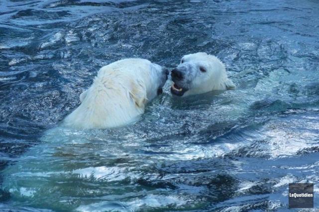 Les ours polaires contribuent à faire du Zoo... (Archives Le Quotidien)