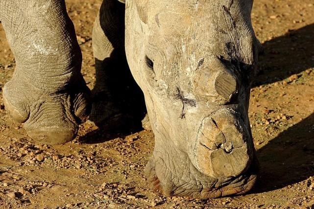 Ce rhinocéros d'Afrique du sud a été décorné.... (AFP)