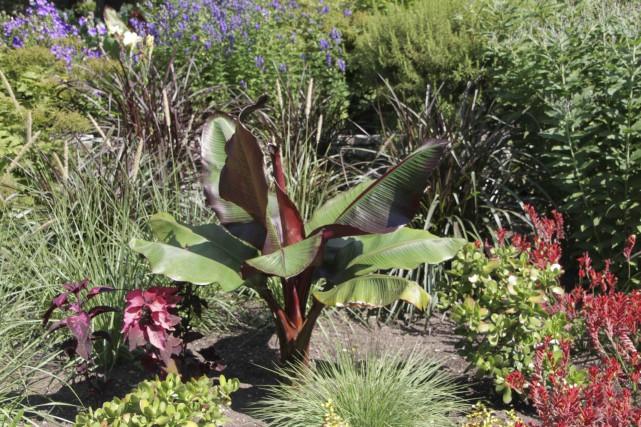 Le bananier rouge d'Abyssinie (Ensete ventricosum 'Maurelii') crée... (www.jardinierparesseux.com)