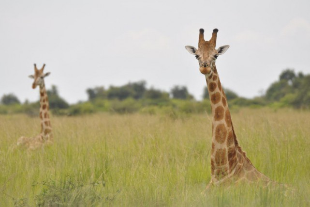 Une girafe nubienne, en Ouganda.... (Photo Julian Fennessy / via REUTERS)