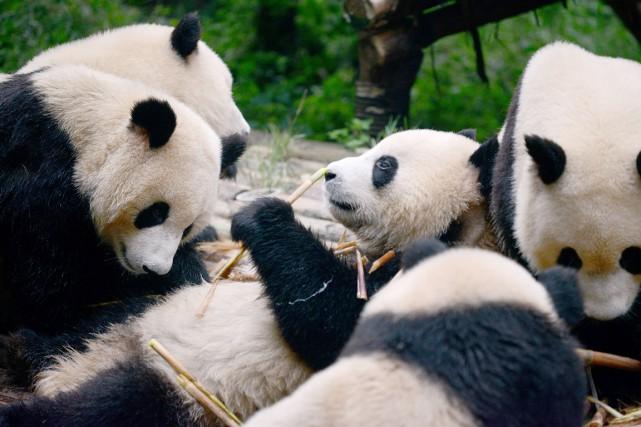 Plusieurs pandas prennent leur repas constitué de tiges... (photo WANG ZHAO, AFP)