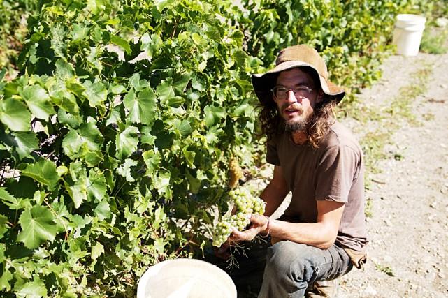 Ce vendangeur du vignoble de l'Orpailleur montre une... (fournie par Gestion i Média)
