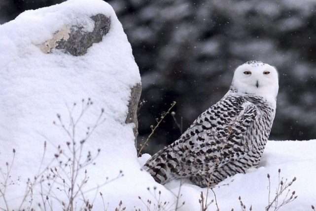 La population de harfangs des neiges, emblème aviaire... (Photo Michael Gallacher, AP/The Missoulian)
