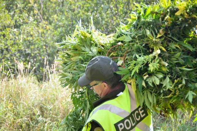 La récolte des plants de cannabis se poursuit en Estrie avec la découverte... (Photo fournie par la SQ)
