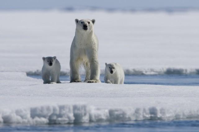 Une bataille s'est engagée entre des ours polaires et des scientifiques russes... (ARCHIVES AP)