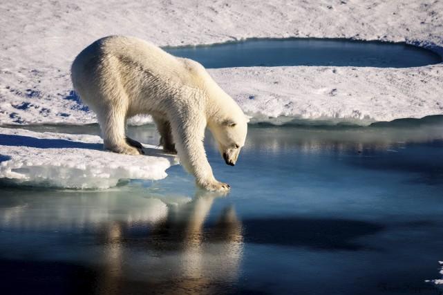 Les ours polaires, dont l'habitat est menacé par... (AFP)
