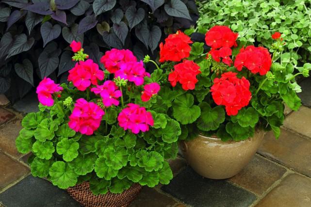 Pélargoniums des jardins typiques. Notez la marque brune... (National Garden Bureau)
