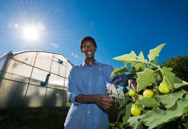 Les aubergines africaines que fait pousser Daniel Minani... (Spectre Média, Jessica Garneau)
