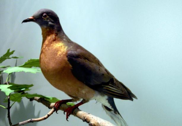 «Ledernier pigeon migrateur est mort dans un zoo... (PHOTO FOURNIE PAR Keith Schengili-Roberts)