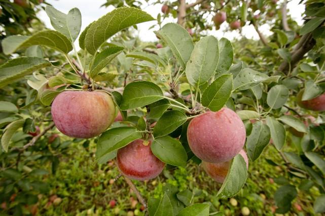 Le Centre de la biodiversité de Bécancour rappelle que la saison des pommes... (La Presse)