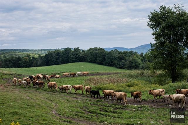 Troupeau de vaches de Hollister Farms, au Vermont.... (PHOTO ÉDOUARD PLANTE-FRÉCHETTE, LA PRESSE)