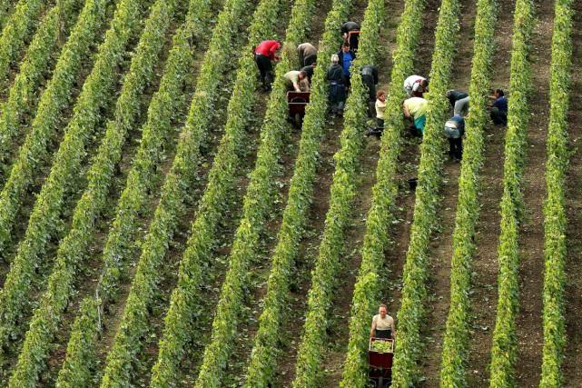 Des gens ramassent le raisin dans un vignoble... (PHOTO AFP)