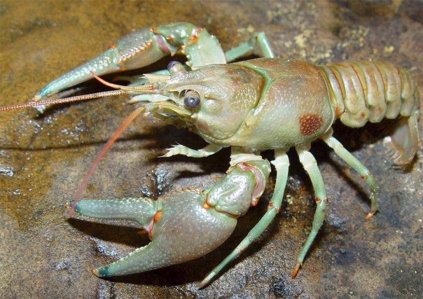Des écrevisses à taches rouges ont été découvertes... (tirée du www.aquaportail.com)
