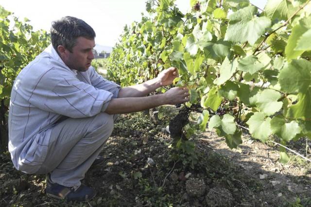 Le vigneron Jean-Christophe Bersan examine ses vignes situées... (PHOTO ARCHIVES AFP)