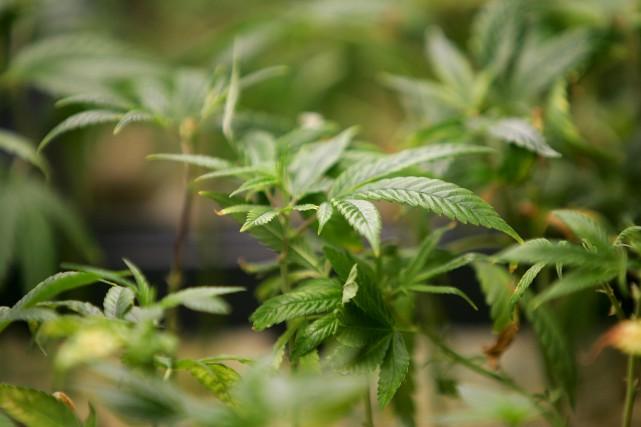 La légalisation de la marijuana ne doit pas... (Archives AFP, Robyn Beck)
