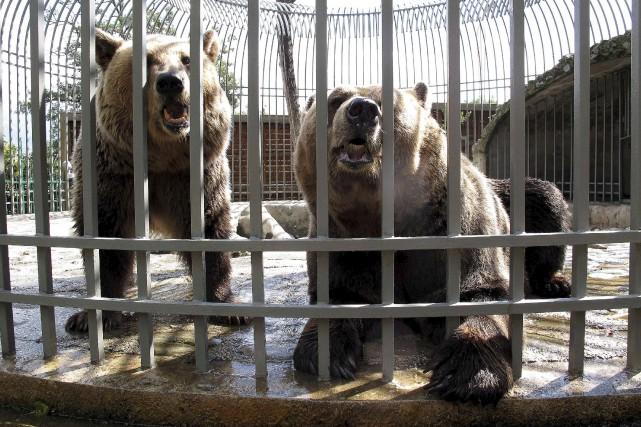 Deux ours sont exhibés dans une cage dans... (AFP, Gent SHKULLAKU)