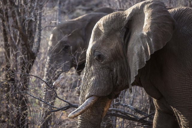 L'Afrique compte environ 415 000 éléphants, soit 111... (AFP, Gianluigi Guercia)