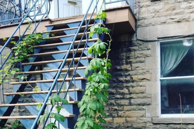 S'il n'en tenait qu'à l'organisme Montréal houblonnière, les... (Photo tirée du site Facebook de Montréal Houblonnière)