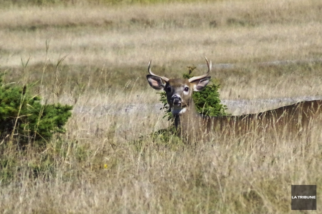 Il ne sera pas aisé pour un chasseur,... (La Tribune, Luc Larochelle)