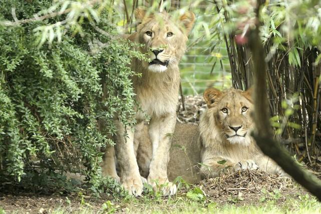Les lions Motshegetsi et Majo ont réussi à... (AFP,  Jan Woitas)