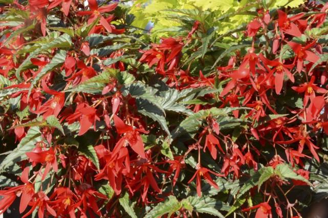 Bégonia de Bolivie Beauvilia® Red.... (Domaine Joly-De Lotbinière)