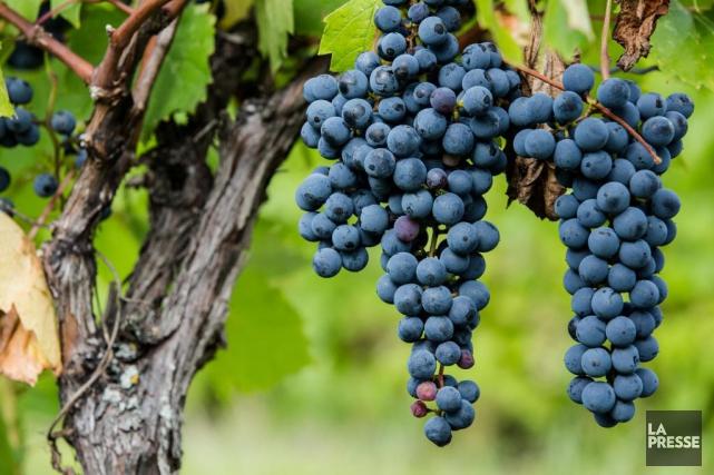 Plusieurs vignerons québécois ont déjà terminé leurs vendanges... (PHOTO ÉDOUARD PLANTE-FRÉCHETTE, LA PRESSE)