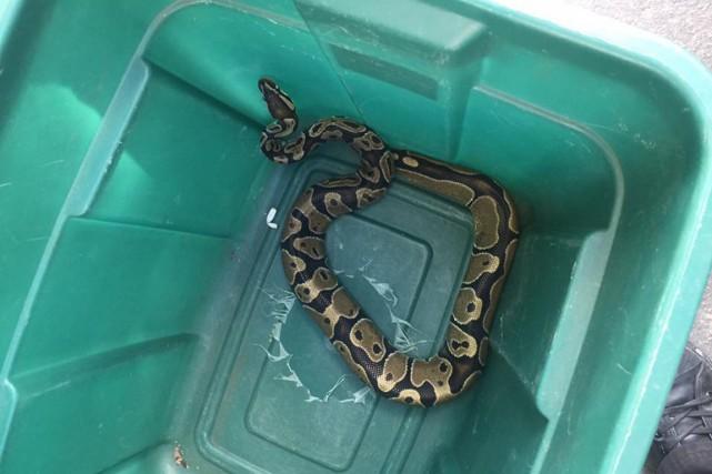 Le python en cavale dans l'arrondissement Verdun, à Montréal, a été retrouvé et... (Photo tirée de Facebook)