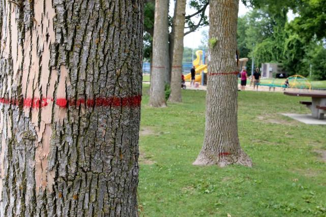 Les 10 000 frênes devant être abattus l'an... (Patrick Woodbury, LeDroit)