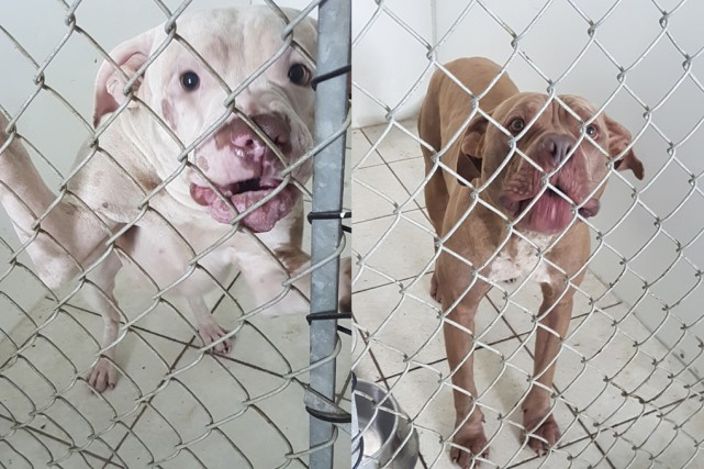 Blanca (à gauche) et Killer ont été euthanasiés... (fournie)