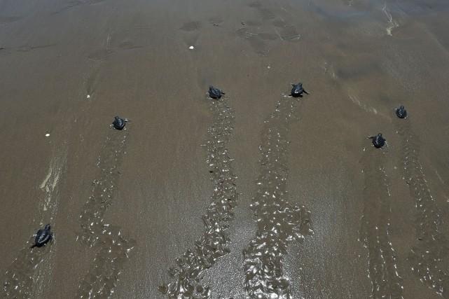 Les reptiles marins à pattes courtes ont été... (PHOTO ADEK BERRY, AGENCE FRANCE-PRESSE)
