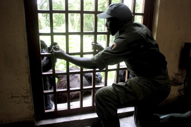 Quatre gorilles orphelinssont accueillis au «sanctuaire de Senkwekwe»,... (AFP, Charly Kasereka)