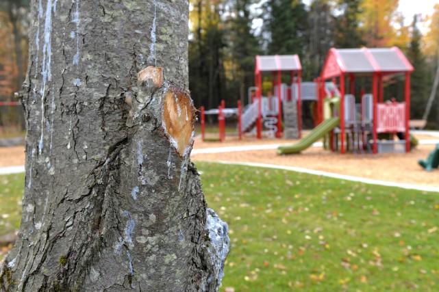 Plusieurs arbres du tout nouveau parc Irma-LeVasseur présentent... (Spectre Média, Maxime Picard)