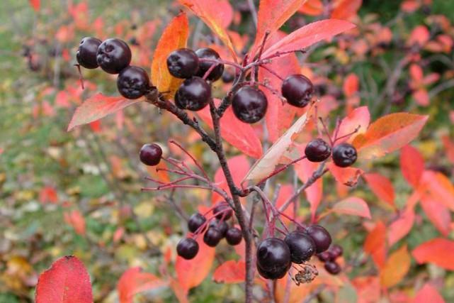 L'aronie nous séduit avec ses feuilles rouges et... (Pinterest)