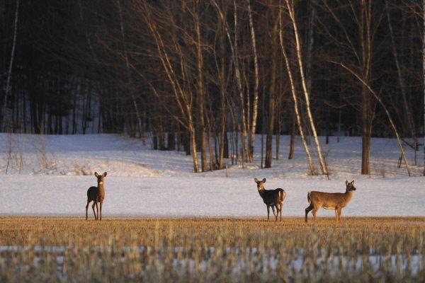Dès l'ouverture de la chasse, les cerfs modifient... (Jean Larivière, collaboration spéciale)