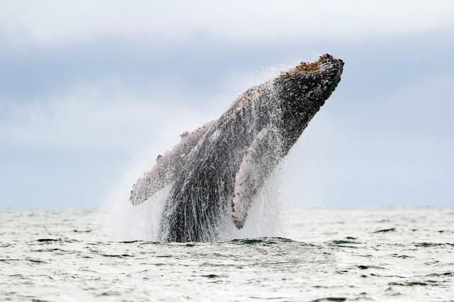 Pour collecter des données sur les baleines un... (photo Luis ROBAYO, archives AFP)