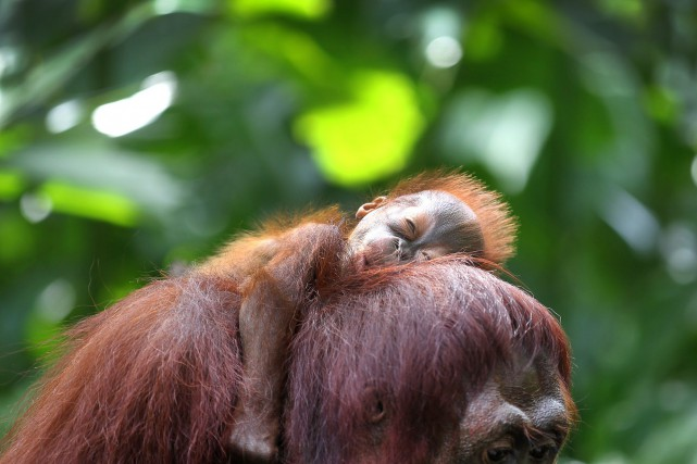 L'Orang-outan de Bornéo fait partie des espèces animales... (PHOTO ARCHIVES AP)
