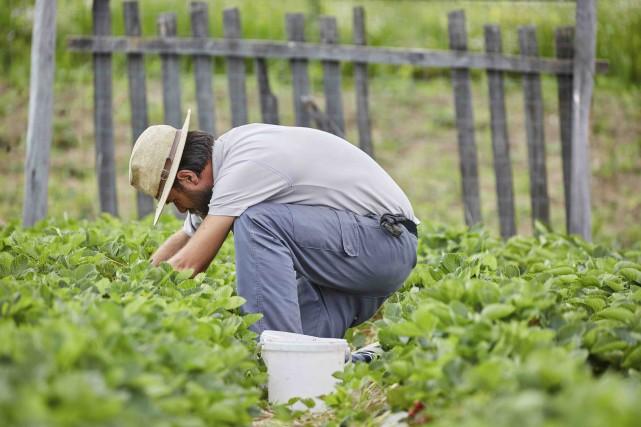 Philippe Couillard «ne croit pas» aux cas d'agriculteurs étranglés par la... (123RF/xalanx)