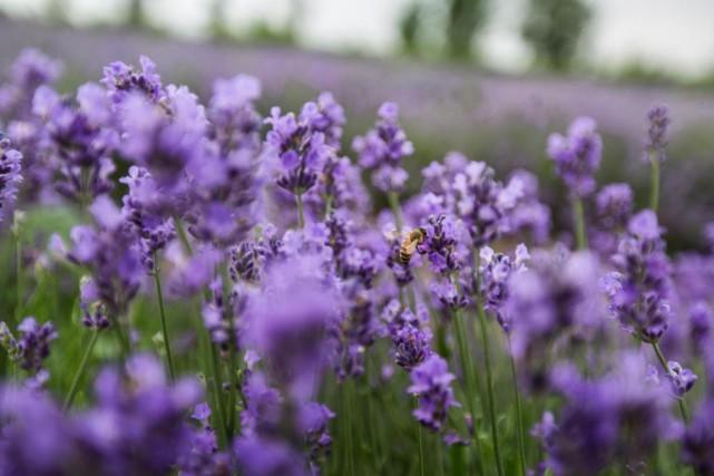 De la lavande et de la cire d'abeille:... (PHOTO OLIVIER PONTBRIAND, archives LA PRESSE)